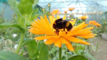 Bee on calendula flower