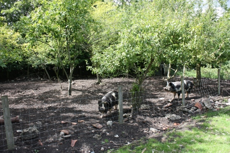 pigs in the forest garden at Lower Shaw Farm