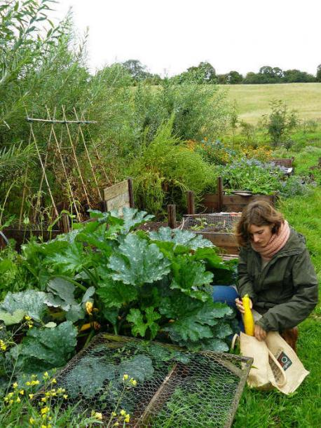 Harvesting Courgettes
