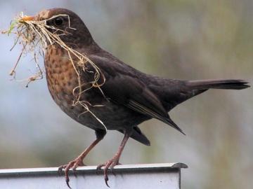 Blackbird collectin nesting material