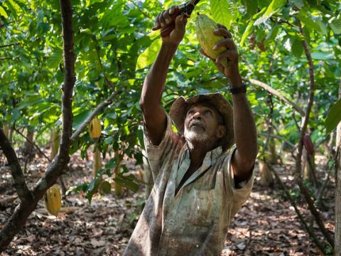 Jose cuts cacao pods from the tree Photo: USAID_images on Flickr, shared under CC BY-NC 2.0 license