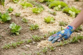 Mulching around vegetables