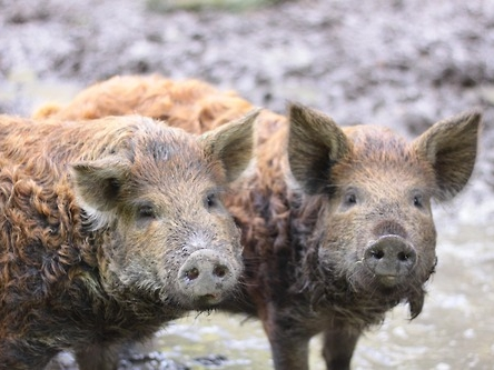 Pigs waiting for food