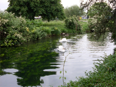 River with swans, showing the riverbank as an edge