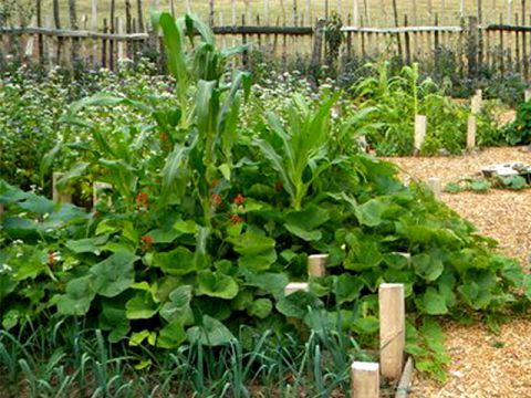 Corn, beans and squash growing together